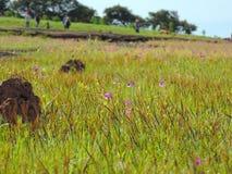 Plateau de Kaas - vallée des fleurs dans le maharashtra, Inde image libre de droits
