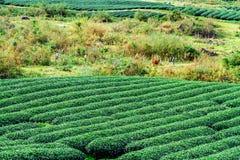 PLATEAU de MOC CHAU, VIETNAM - 24 novembre 2013 - vue d'une plantation de thé avec jouer d'enfants Photos stock