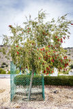 Plateau de Saiq de Bottlebrush Images libres de droits