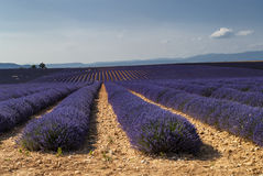 Plateau de Valensole (Provence), lavande Image stock