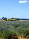 Plateau de Valensole (Provence), lavender. Plateau de Valensole (Alpes-de-Haute-Provence, Provence-Alpes-Cote d'Azur, France(, country house and field of Stock Photos