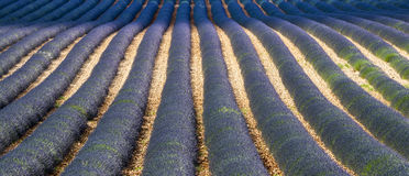 Plateau de Valensole (Provence), lavender. Plateau de Valensole (Alpes-de-Haute-Provence, Provence-Alpes-Cote d'Azur, France), field of lavender Stock Images