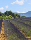 Plateau de Valensole (Provence), lavender. Plateau de Valensole (Alpes-de-Haute-Provence, Provence-Alpes-Cote d'Azur, France(, field of lavender Stock Photos