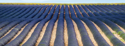 Plateau de Valensole (Provence), lavender Royalty Free Stock Image