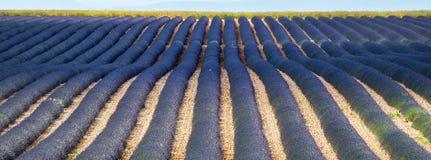 Plateau de Valensole (Provence), lavender. Plateau de Valensole (Alpes-de-Haute-Provence, Provence-Alpes-Cote d'Azur, France), field of lavender Royalty Free Stock Image