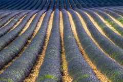 Plateau de Valensole (Provence), lavender. Plateau de Valensole (Alpes-de-Haute-Provence, Provence-Alpes-Cote d'Azur, France), field of lavender Stock Image