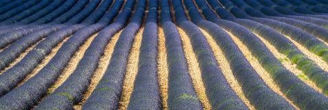 Plateau de Valensole (Provence), lavender. Plateau de Valensole (Alpes-de-Haute-Provence, Provence-Alpes-Cote d'Azur, France), field of lavender Royalty Free Stock Photography