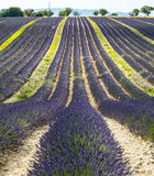 Plateau de Valensole (Provence), lavender. Plateau de Valensole (Alpes-de-Haute-Provence, Provence-Alpes-Cote d'Azur, France), field of lavender Stock Photos