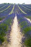 Plateau de Valensole (Provence), lavender. Plateau de Valensole (Alpes-de-Haute-Provence, Provence-Alpes-Cote d'Azur, France), field of lavender Stock Photography