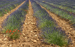 Plateau de Valensole (Provence), lavender. Plateau de Valensole (Alpes-de-Haute-Provence, Provence-Alpes-Cote d'Azur, France(, field of lavender Stock Photo