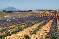 Plateau de Valensole (Provence), lavender Stock Images