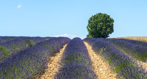 Plateau de Valensole (Provence), lavender. Plateau de Valensole (Alpes-de-Haute-Provence, Provence-Alpes-Cote d'Azur, France(, field of lavender and lonely tree Royalty Free Stock Images