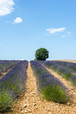 Plateau de Valensole (Provence), lavender. Plateau de Valensole (Alpes-de-Haute-Provence, Provence-Alpes-Cote d'Azur, France(, field of lavender and lonely tree Stock Image