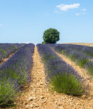 Plateau de Valensole (Provence), lavender. Plateau de Valensole (Alpes-de-Haute-Provence, Provence-Alpes-Cote d'Azur, France(, field of lavender and lonely tree Stock Photography