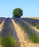 Plateau de Valensole (Provence), lavender. Plateau de Valensole (Alpes-de-Haute-Provence, Provence-Alpes-Cote d'Azur, France(, field of lavender and lonely tree Royalty Free Stock Photography