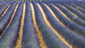Plateau de Valensole (Provence), lavender. Plateau de Valensole (Alpes-de-Haute-Provence, Provence-Alpes-Cote d'Azur, France(, fields of lavender Royalty Free Stock Photos