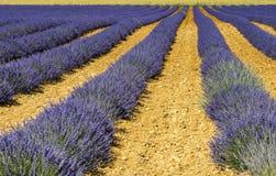 Plateau de Valensole (Provence), lavender. Plateau de Valensole (Alpes-de-Haute-Provence, Provence-Alpes-Cote d'Azur, France(, fields of lavender Royalty Free Stock Photography