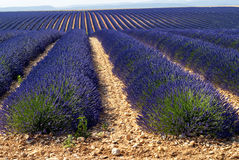 Plateau de Valensole (Provence), lavender Royalty Free Stock Image