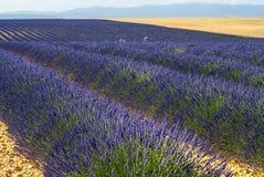Plateau de Valensole (Provenza), lavanda Fotografie Stock Libere da Diritti