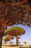 Plateau with dragon trees on a sunny day. Yemen. Socotra. endemic trees royalty free stock photo