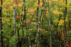 Plateau forest in autumn Royalty Free Stock Photography