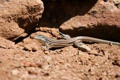 Plateau Gestreepte Whiptail, Cnemidophorus velox royalty-vrije stock afbeeldingen