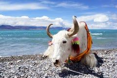 Plateau jeziorni i Biali yak obrazy royalty free