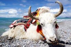 Plateau lake and White yak Royalty Free Stock Images