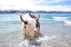 Plateau lake and White yak Stock Photography