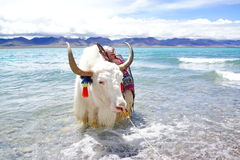 Plateau lake and White yak Stock Photography