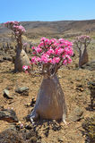 Plateau Mumi on the island of Socotra in Yemen, bottle trees Royalty Free Stock Photography