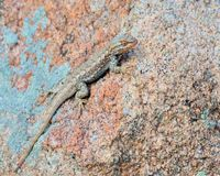 Plateau side-blotched lizard Stock Photos