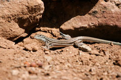 Plateau Striped Whiptail, Cnemidophorus velox Royalty Free Stock Images