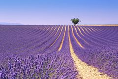 Plateau Valensole, Provence: lavender field Royalty Free Stock Photo