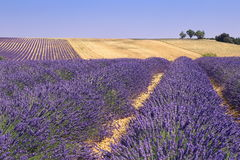 Plateau Valensole, Provence: lavender fields Royalty Free Stock Photography
