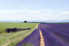 The plateau Valensole Royalty Free Stock Photography