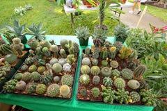 Plateaux pleins de petits cactus à vendre à un événement extérieur photographie stock libre de droits
