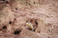 Plated lizard on a termite mount. Royalty Free Stock Photography