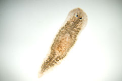 Platelminto di Planaria Immagini Stock