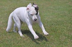 Platful pies Obrazy Royalty Free