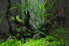 Platies dans Aquascaping Photographie stock