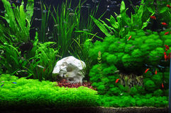Platies, tetras and mollies in Aquascaping stock image