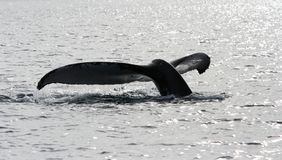 Platija de la ballena (cola) Fotos de archivo libres de regalías