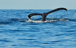 Platija de la cola de la ballena jorobada del salto foto de archivo