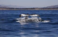 Platijas de la ballena jorobada en la bahía de Morro Imagen de archivo