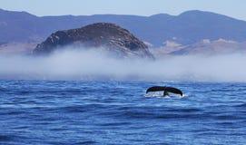 Platijas de la ballena jorobada en la roca y la niebla de Morro Fotografía de archivo libre de regalías