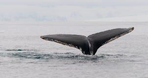 Platijas de la cola de la ballena jorobada encrustadas con las lapas, península antártica fotografía de archivo