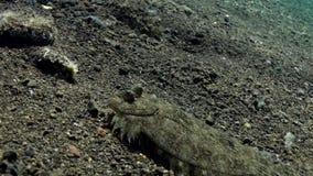 Platijas de la platija que ocultan en el fondo del mar metrajes