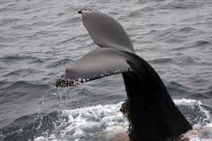 Platijas fuera de lapas de la ballena de humpback del agua Foto de archivo libre de regalías