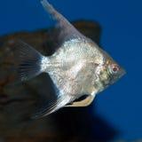 Platina Albino Angelfish royalty-vrije stock foto's